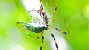 FEEDING: A male and female golden orb weaver spider feed on a cicada.  These spiders are also commonly found on the Arboretum grounds.  Photo by Jeremy Pittari